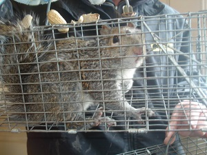 Wildlife Trapping and Removal Kansas City